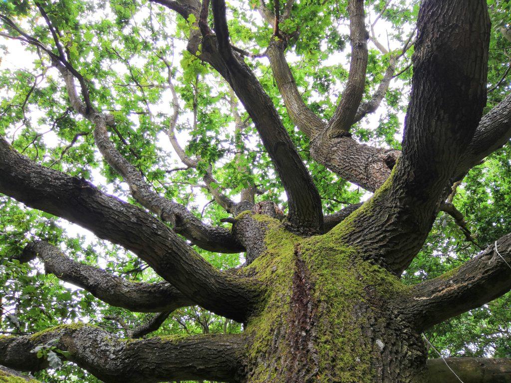 Oak tree at Kings Norton Nature Reserve
